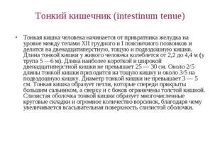 Тонкий кишечник (intestinum tenue) Тонкая кишка человека начинается от привра