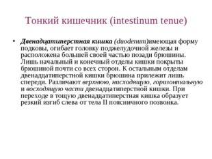 Тонкий кишечник (intestinum tenue) Двенадцатиперстная кишка (duodenum)имеющая