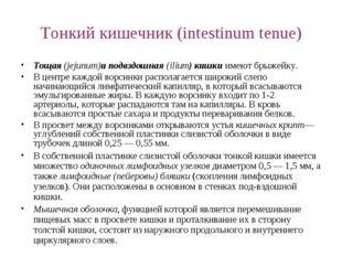 Тонкий кишечник (intestinum tenue) Тощая (jejunum)и подвздошная (ilium) кишки