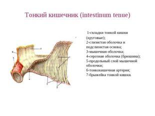 Тонкий кишечник (intestinum tenue) 1-складки тонкой кишки (круговые); 2-слизи