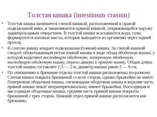 Толстая кишка (intestinum crasum) Толстая кишка начинается слепой кишкой, рас