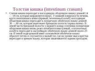 Толстая кишка (intestinum crasum) Слепая кишка переходит в восходящую ободочн