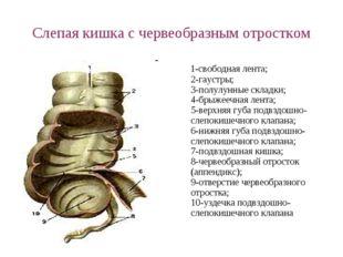 Слепая кишка с червеобразным отростком 1-свободная лента; 2-гаустры; 3-полулу