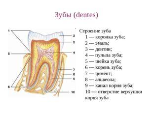 Зубы (dentes) Строение зуба 1 — коронка зуба; 2 — эмаль; 3 — дентин; 4 — пуль
