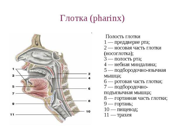 Глотка (pharinx) Полость глотки 1 — преддверие рта; 2 — носовая часть глотки...