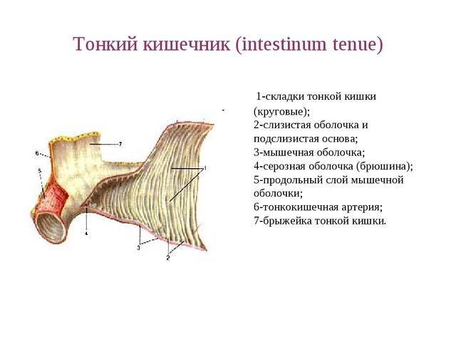 Тонкий кишечник (intestinum tenue) 1-складки тонкой кишки (круговые); 2-слизи...