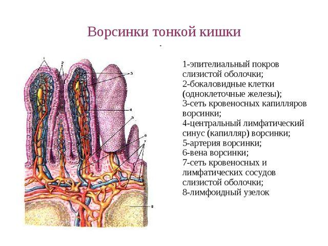 Ворсинки тонкой кишки 1-эпителиальный покров слизистой оболочки; 2-бокаловидн...