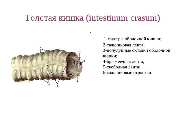 Толстая кишка (intestinum crasum) 1-гаустры ободочной кишки; 2-сальниковая ле...