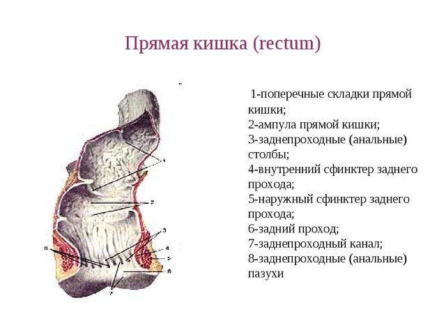 Прямая кишка (rectum) 1-поперечные складки прямой кишки; 2-ампула прямой кишк...