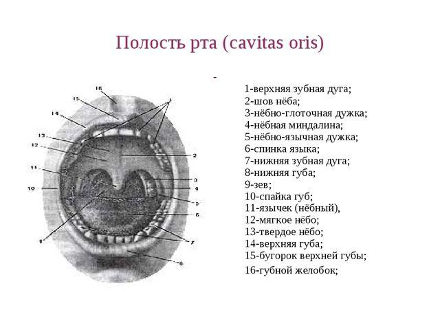 Полость рта (cavitas oris) 1-верхняя зубная дуга; 2-шов нёба; 3-нёбно-глоточн...