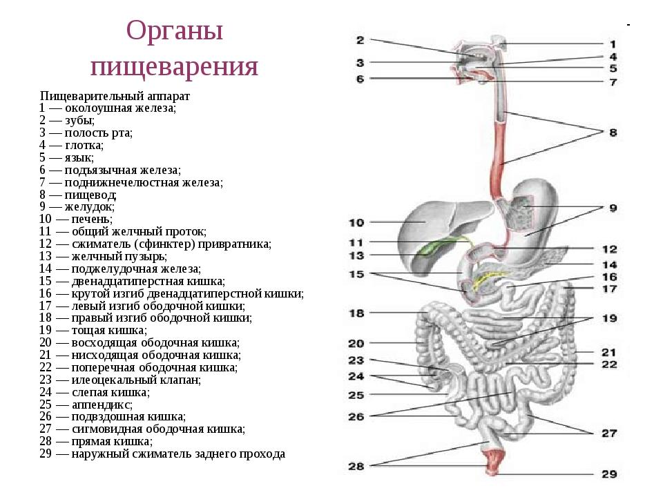 Органы пищеварения Пищеварительный аппарат 1 — околоушная железа; 2 — зубы; 3...