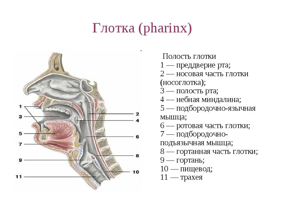 Глотка анатомия картинки