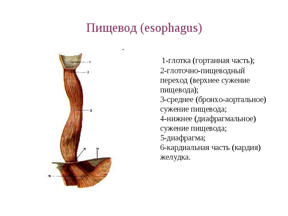 Пищевод (esophagus) 1-глотка (гортанная часть); 2-глоточно-пищеводный переход...
