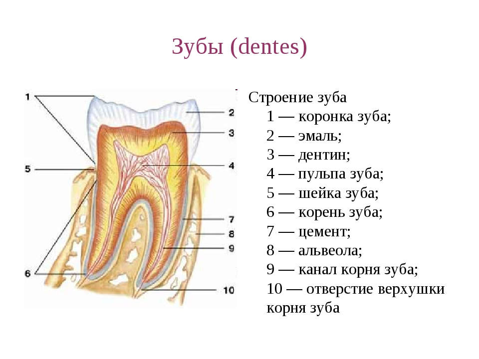 Зубы (dentes) Строение зуба 1 — коронка зуба; 2 — эмаль; 3 — дентин; 4 — пуль...