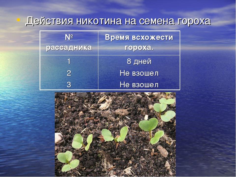 Действия никотина на семена гороха № рассадникаВремя всхожести гороха. 1 2 3...