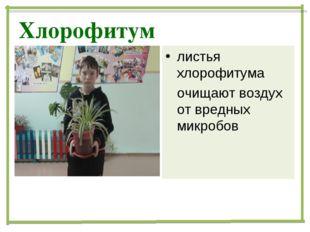 Хлорофитум листья хлорофитума очищают воздух от вредных микробов