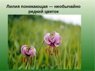 Лилия поникающая — необычайно редкий цветок