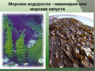 Морские водоросли –ламинария или морская капуста