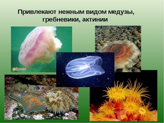 Привлекают нежным видом медузы, гребневики, актинии