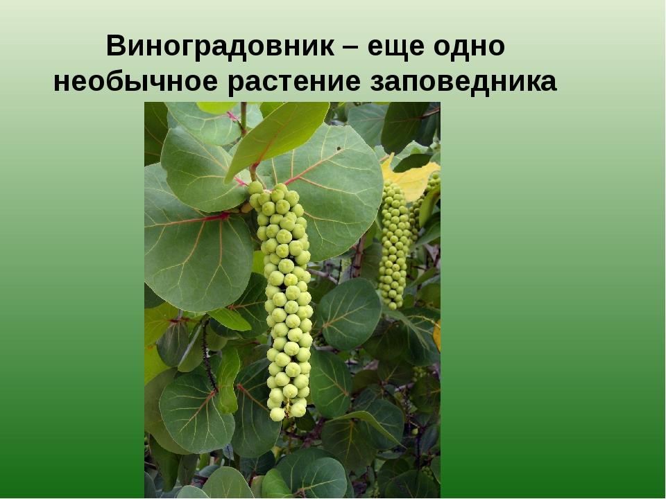 Виноградовник – еще одно необычное растение заповедника