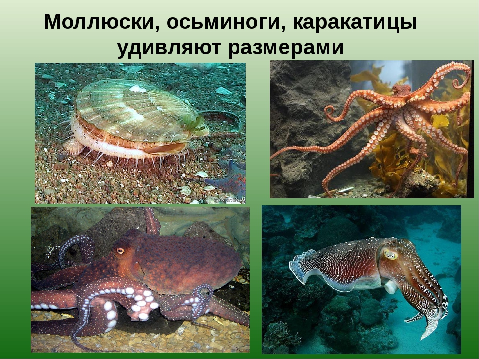 Моллюски, осьминоги, каракатицы удивляют размерами