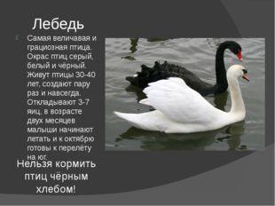 Лебедь Самая величавая и грациозная птица. Окрас птиц серый, белый и чёрный.