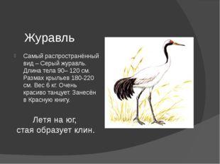 Журавль Самый распространённый вид – Серый журавль. Длина тела 90– 120 см. Ра