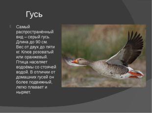 Гусь Самый распространённый вид – серый гусь. Длина до 90 см. Вес от двух до