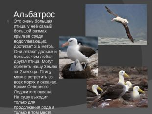 Альбатрос Это очень большая птица, у неё самый большой размах крыльев среди в