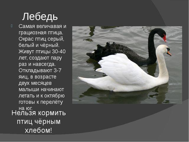 Лебедь Самая величавая и грациозная птица. Окрас птиц серый, белый и чёрный....