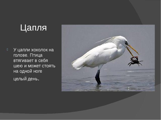 Цапля У цапли хохолок на голове. Птица втягивает в себя шею и может стоять на...