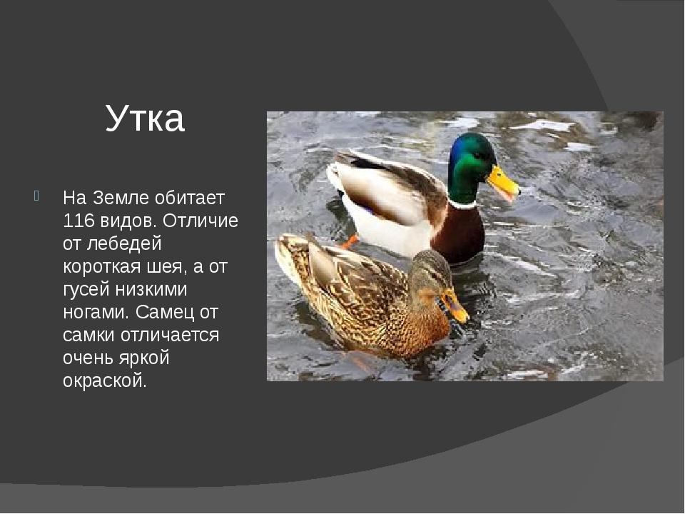 Утка На Земле обитает 116 видов. Отличие от лебедей короткая шея, а от гусей...