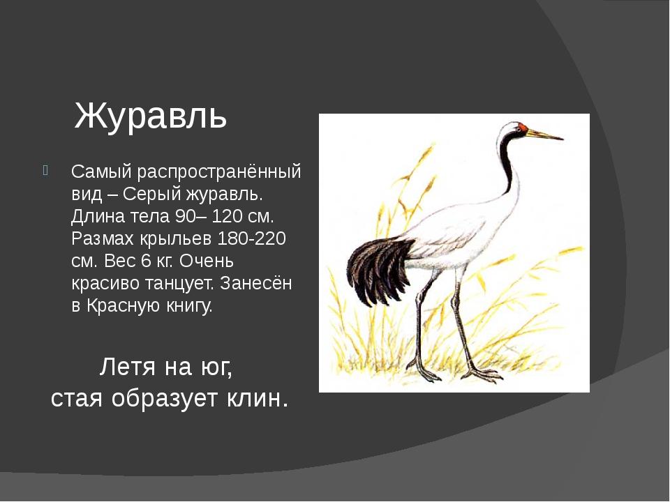 Журавль Самый распространённый вид – Серый журавль. Длина тела 90– 120 см. Ра...