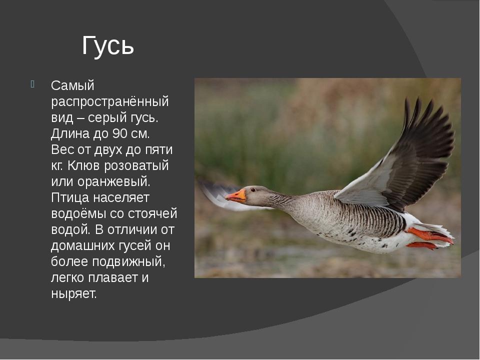 Гусь Самый распространённый вид – серый гусь. Длина до 90 см. Вес от двух до...