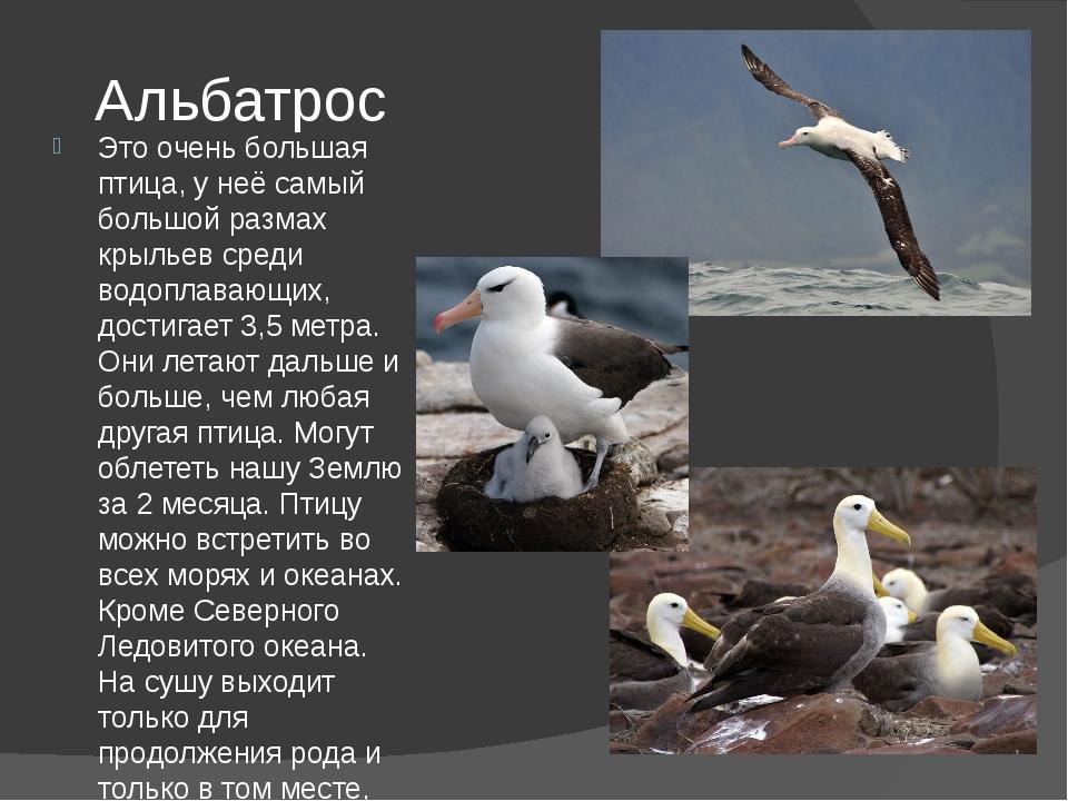 Альбатрос Это очень большая птица, у неё самый большой размах крыльев среди в...