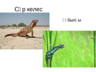 Сұр келес құбылғы (хамелеон)