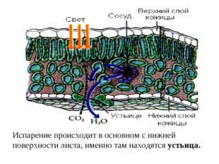 Испарение происходит в основном с нижней поверхности листа, именно там находя