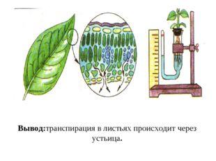 Вывод:транспирация в листьях происходит через устьица.