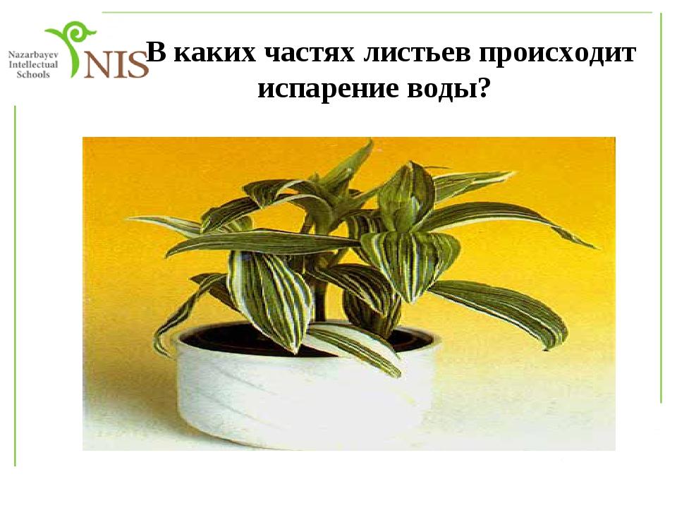 В каких частях листьев происходит испарение воды?