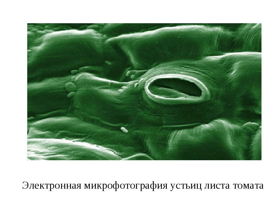 Электронная микрофотография устьиц листа томата