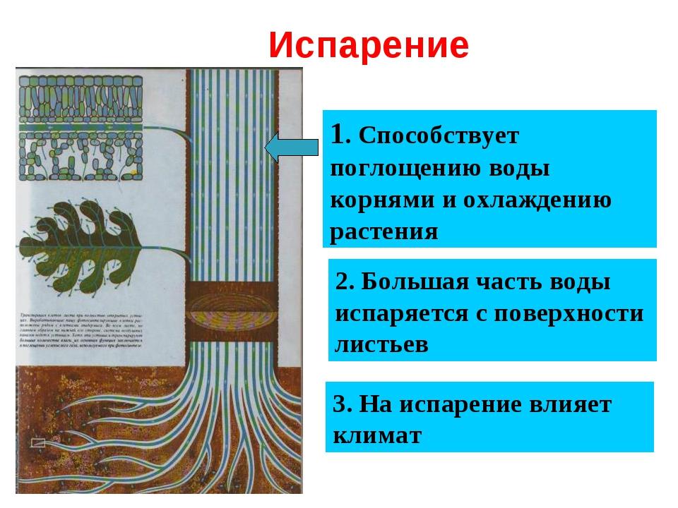 Испарение 1. Способствует поглощению воды корнями и охлаждению растения 2. Б...
