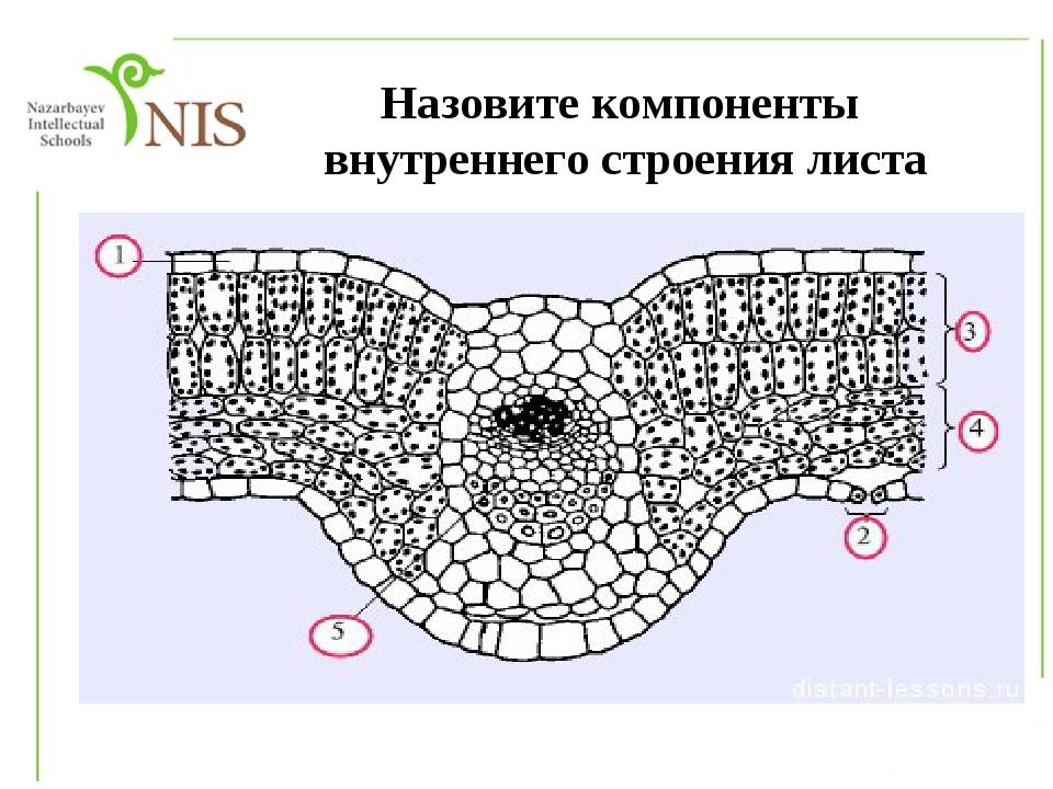 Назовите компоненты внутреннего строения листа