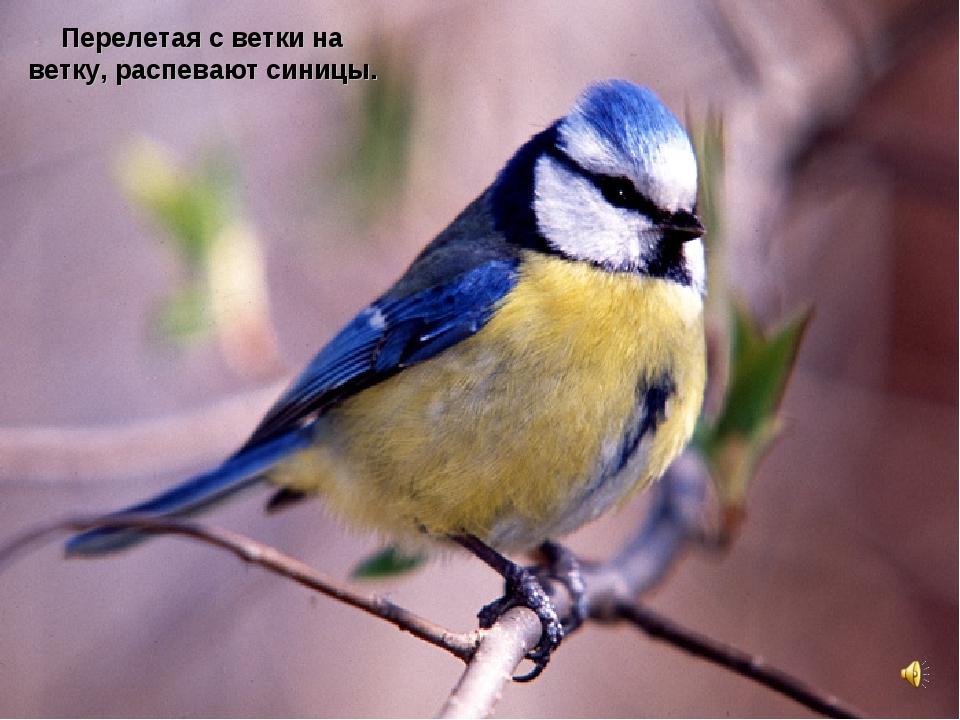 Перелетая с ветки на ветку, распевают синицы.
