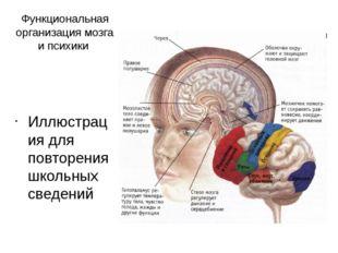 Функциональная организация мозга и психики Иллюстрация для повторения школьны