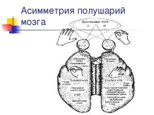 Асимметрия полушарий мозга