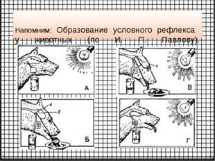 Напомним: Образование условного рефлекса у животных (по И. П. Павлову).