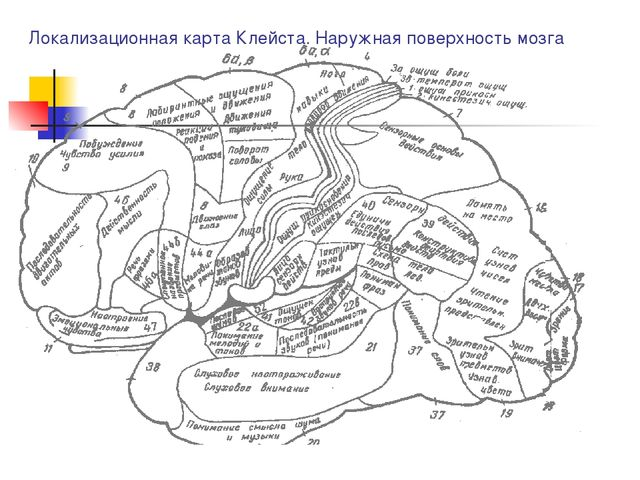 Локализационная карта Клейста. Наружная поверхность мозга