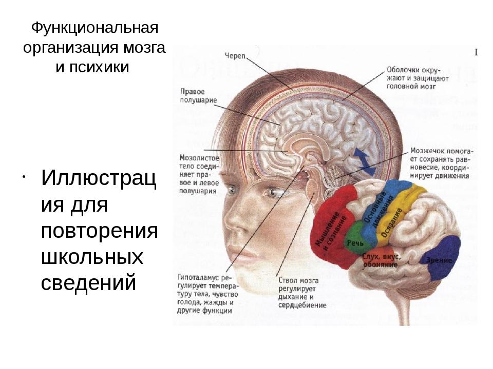 Функциональная организация мозга и психики Иллюстрация для повторения школьны...