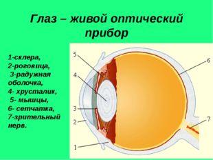 Глаз – живой оптический прибор 1-склера, 2-роговица, 3-радужная оболочка, 4-