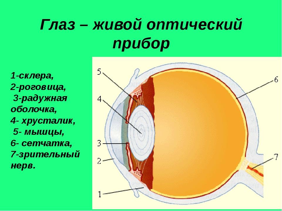Глаз – живой оптический прибор 1-склера, 2-роговица, 3-радужная оболочка, 4-...